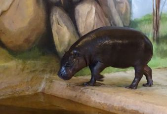 Malevent im Rostocker Zoo bei den Zwergflusspferde (c) Frank Koebsch (2)