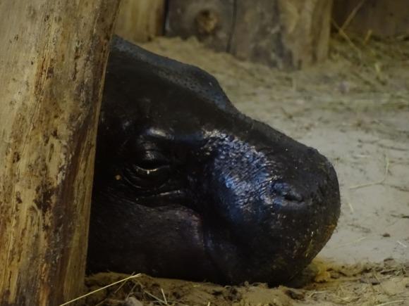 Malevent im Rostocker Zoo bei den Zwergflusspferde (c) Frank Koebsch (3)