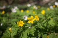 Weiße und Gelbe Blüten der Buschwindröschen (c) Frank Koebsch (3)