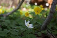 Weiße und Gelbe Blüten der Buschwindröschen (c) Frank Koebsch (4)