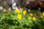 Weiße und Gelbe Blüten der Buschwindröschen (c) Frank Koebsch