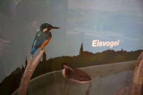 Eisvogel als Exponat im Ausstellungsraum in der Naturschutzstation Schwerin (c) Frank Koebsch