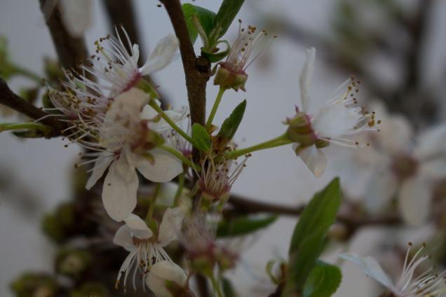 Kirschblüten als Motiv für unsere Aquarelle (c) Frank Koebsch (1)
