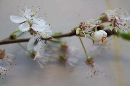 Kirschblüten als Motiv für unsere Aquarelle (c) Frank Koebsch (2)