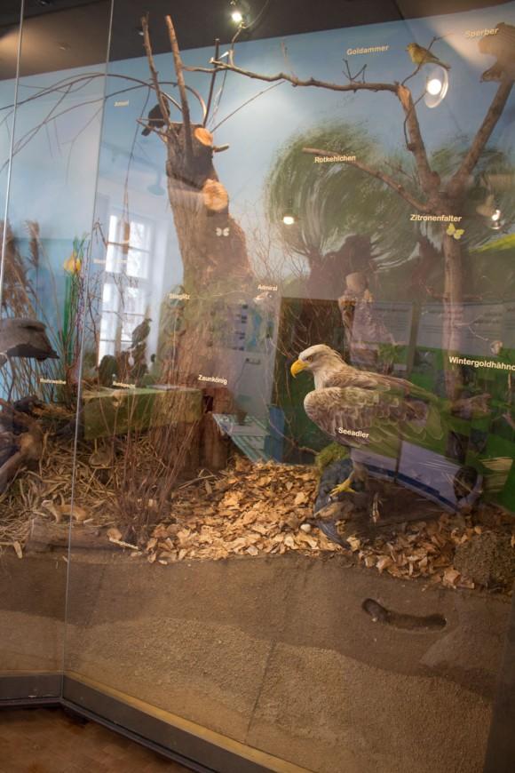 Seeadler als Exponat im Ausstellungsraum in der Naturschutzstation Schwerin (c) Frank Koebsch