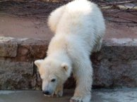 Eisbären Baby Fiete im Rostocker Zoo - April 2015 (c) FRank Koebsch (1)