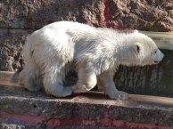 Eisbären Baby Fiete im Rostocker Zoo - April 2015 (c) FRank Koebsch (2)