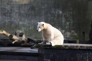 Fiete der Eisbär im Rostocker Zoo - Dezember 2015 (c) Frank Koebsch