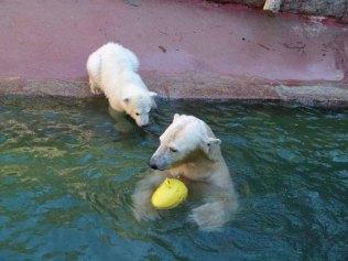 Fiete und Eisbären Mutter Vilma im Rostocker Zoo - April 2015 (c) FRank Koebsch (1)