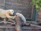 Fiete und Eisbären Mutter Vilma im Rostocker Zoo - April 2015 (c) FRank Koebsch (2)