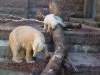Fiete und Eisbären Mutter Vilma im Rostocker Zoo - April 2015 (c) FRank Koebsch