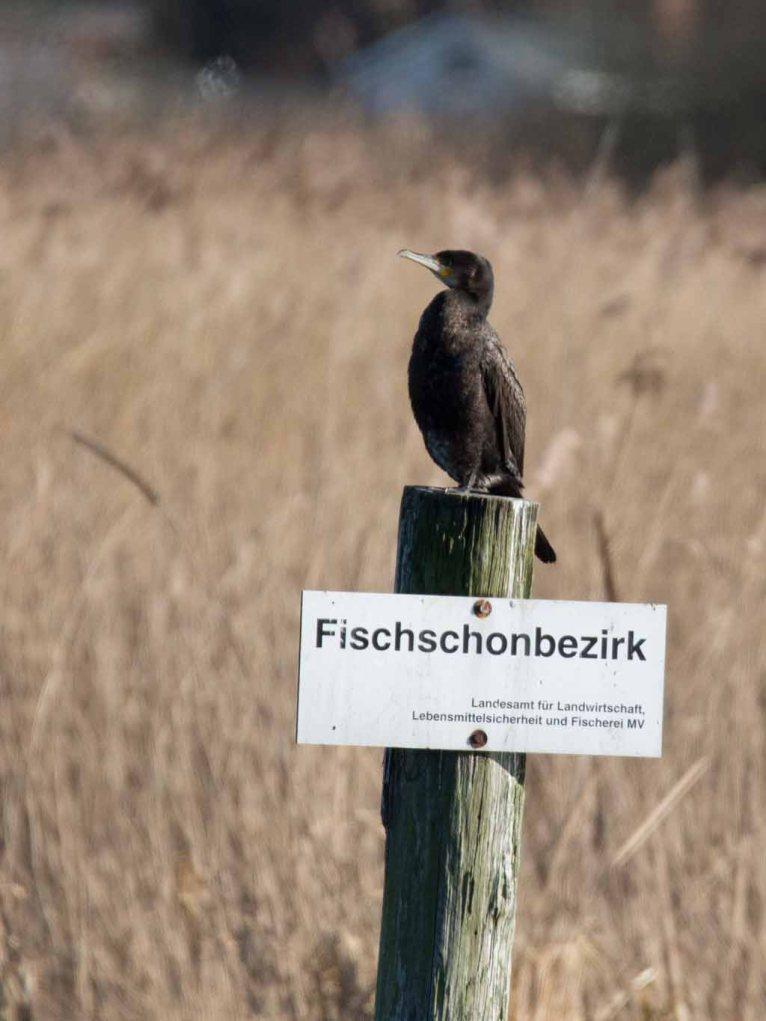 Kormorane beim Gerberbruch an der Warnow (c) Frank Koebsch (20)