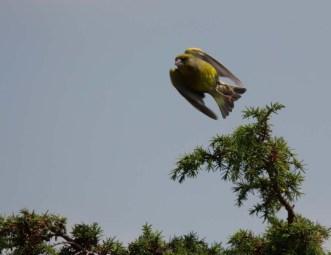 Auf dem Sprung - Grünfink am Darßer Ort (c) FRank Koebsch