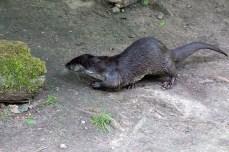 Fischotter im Rostockeer Zoo (c) FRank Koebsch (3)
