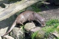 Fischotter im Wildpark Lüneburger Heide (c) FRank Koebsch (2)