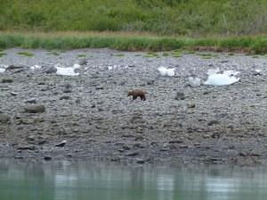 Grizzlys am Ufer der Glacier Bay (c) FRank Koebsch (6)