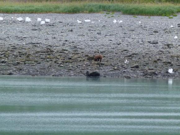 Grizzlys am Ufer der Glacier Bay (c) FRank Koebsch (7)