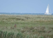 Hirsche an der Ostsee beim Darßer Ort (c) FRank Koebsch (1)