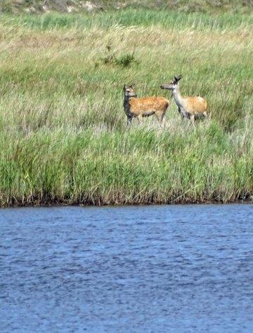 Hirsche an der Ostsee beim Darßer Ort (c) FRank Koebsch (2)