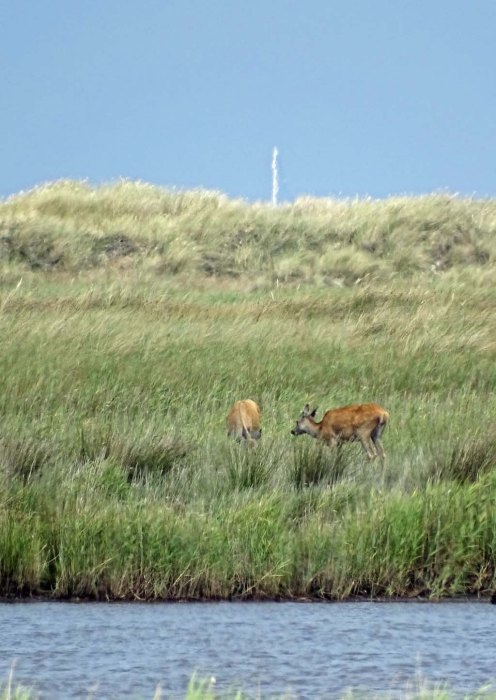 Hirsche an der Ostsee beim Darßer Ort (c) FRank Koebsch (3)