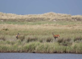Hirsche an der Ostsee beim Darßer Ort (c) FRank Koebsch (4)