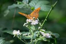 Schmetterling Kaisermantel auf Brombeerblüten (c) FRank Koebsch (3)