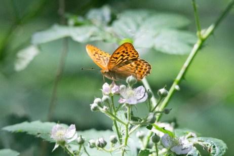 Schmetterling Kaisermantel auf Brombeerblüten (c) FRank Koebsch (4)