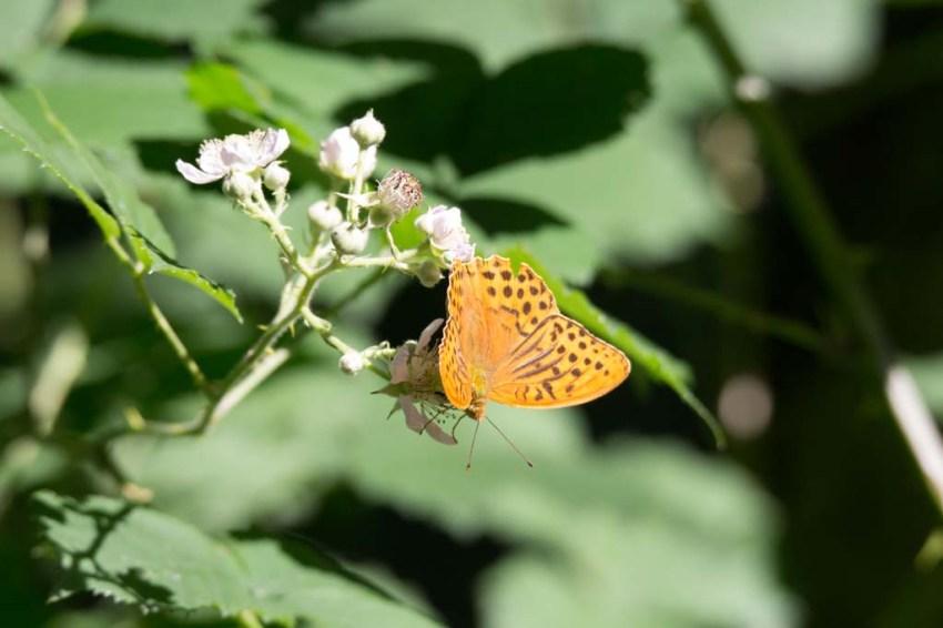 Schmetterling Kaisermantel auf Brombeerblüten (c) FRank Koebsch (5)