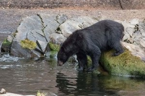 Schwarzbären (c) Max Fellner (1)
