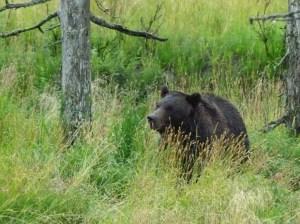 Schwärzbären (c) FRank Koebsch (3)
