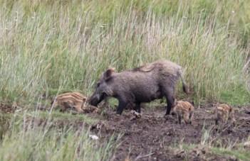 Wildschweine - Bache mit Frischlingen (c) FRank Koebsch (1)