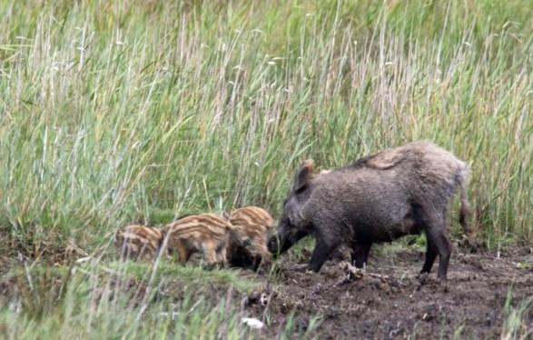 Wildschweine - Bache mit Frischlingen (c) FRank Koebsch