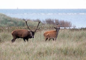 Brunft der Rothirsche im Nationalpark an der Ostsee (c) FRank Koebsch (2)
