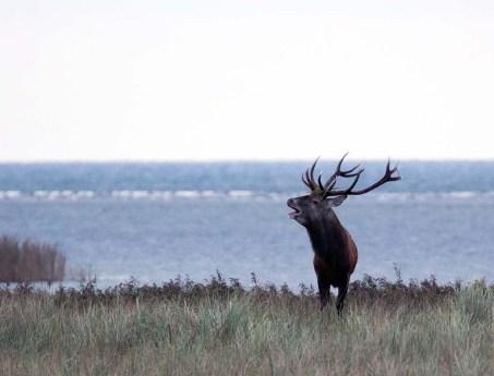 Brunft der Rothirsche im Nationalpark an der Ostsee (c) FRank Koebsch (3)
