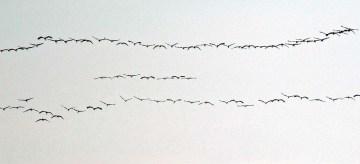 Die ersten Kraniche fliegen zum Darß (c) FRank Koebsch (2)