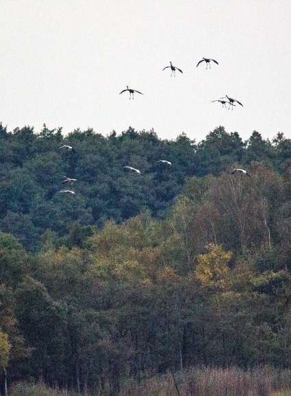 Einkreisen der Kraniche für die Landung im Redeerangsee (c) FRank Koebsch (1)
