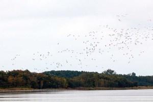 Einkreisen der Kraniche für die Landung im Redeerangsee (c) FRank Koebsch (3)