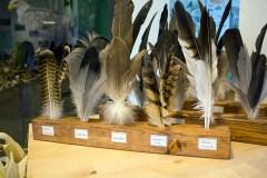 Federn vom Mäuse Bussard - Kranich - Seeadler - Waldohreule in der Ausstellung des NABU Schwerin (c) Frank Koebsch