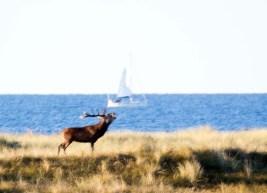 Hirschbrunft an der Ostsee (c) FRank Koebsch (1)