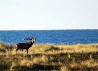 Hirschbrunft an der Ostsee (c) FRank Koebsch