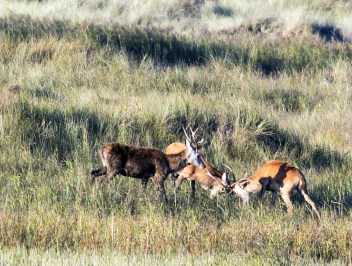 Junge Hirsche kämpfen spielerisch am Darßer Ort (c) FRank Koebsch (2)