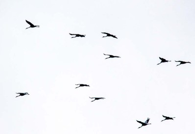 Kraniche im Anflug auf dem Rederangsee (c) FRank Koebsch (1)