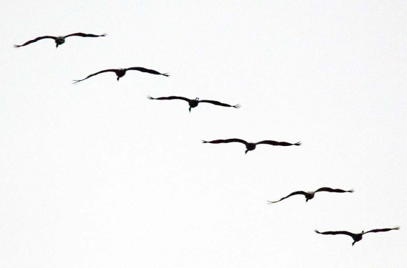 Kraniche im Anflug auf dem Rederangsee (c) FRank Koebsch (4)
