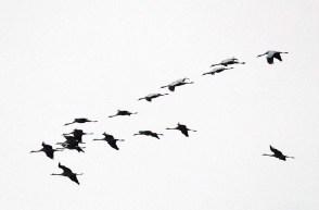 Kraniche im Anflug auf dem Rederangsee (c) FRank Koebsch (6)