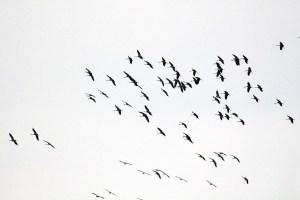 Kraniche im Anflug auf dem Rederangsee (c) FRank Koebsch (8)