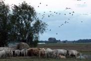Kraniche und Rinder auf den Boddenwiesen von Ummanz (c) Frank Koebsch (2)