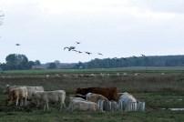 Kraniche und Rinder auf den Boddenwiesen von Ummanz (c) Frank Koebsch (4)