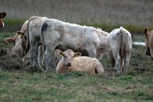 Rinder auf den Boddenwiesen von Ummanz (c) Frank Koebsch