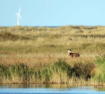 Rotwild an der Ostsee (c) FRank Koebsch (1)