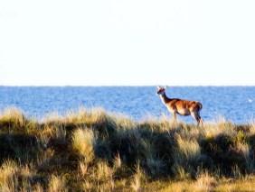 Rotwild an der Ostsee (c) FRank Koebsch (3)